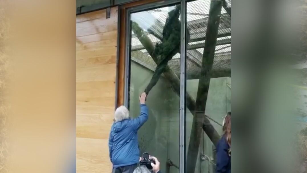 Szympansica rozpoznała opiekunkę z dzieciństwa. Przez szybę wyciągnęła do niej rękę