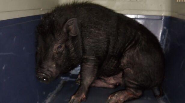 Świnka wietnamska znaleziona przez Eko Patrol straż miejska