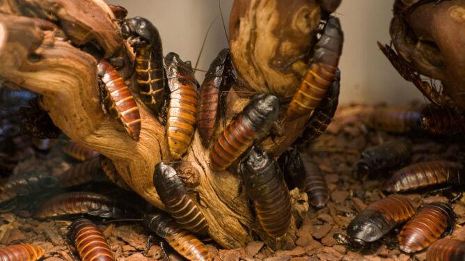 Tony odpadów i miliard karaluchów. Pół roku jedzą, potem same stają się karmą
