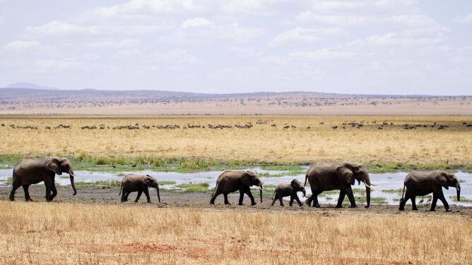 Tajemnicza śmierć słoni w Zimbabwe