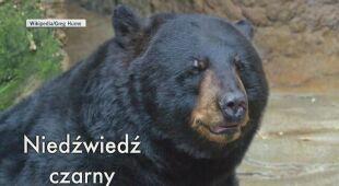 Niedźwiedź czarny zamieszkuje lasy Ameryki Północnej